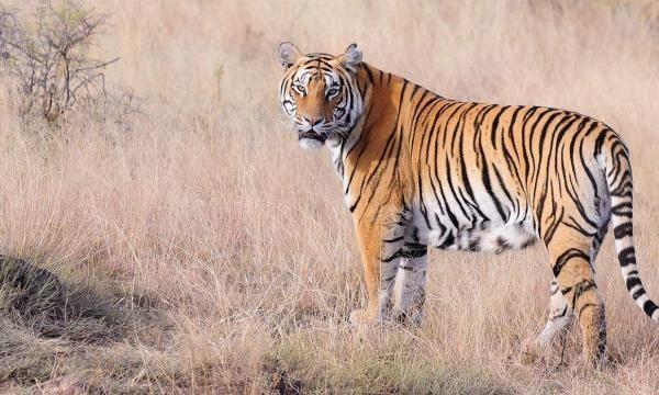 تفسير رؤية النمر في المنام للمتزوجة والحامل Tiger Poster Tiger World Tiger