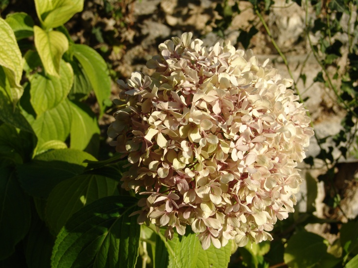 Hortensia in sunset, Pilion