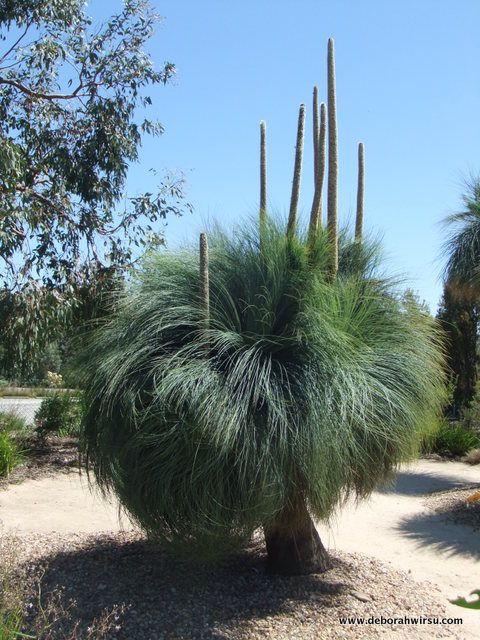 Xanthorrhoea australis: grass tree