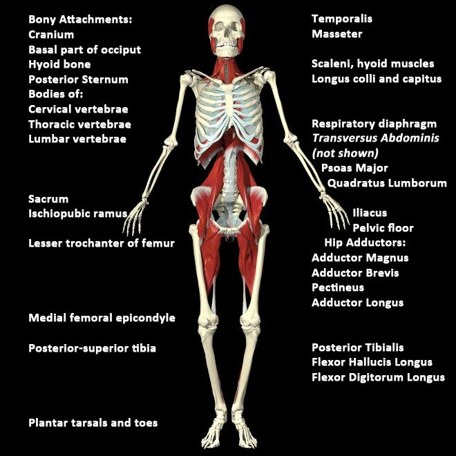 1000 Images About Anatomy Trains On Pinterest Anatomy