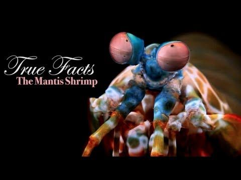 Be very, very afraid. | True Facts About The Mantis Shrimp