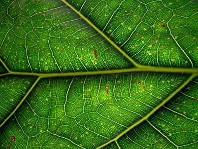 leafStem Cell, Nature, Green Leaves, Green Leaf, Positive Beautiful, Leaf Leaves, Beautiful Blog, Cell Photographers, Plants Cell