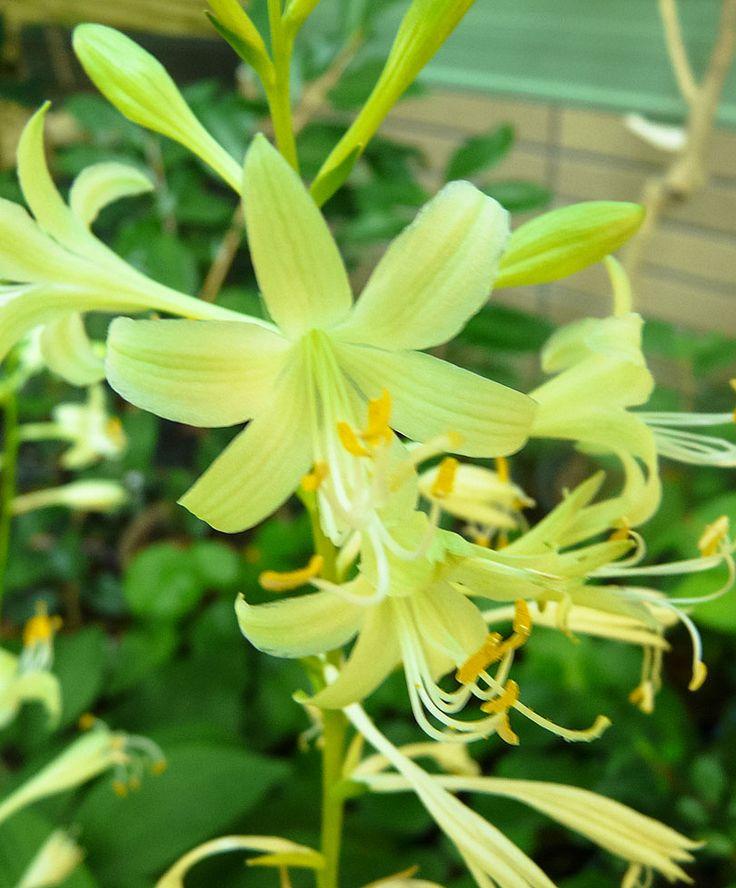 Hosta 'Miracle Lemony' | Plants from Bakker Spalding ...