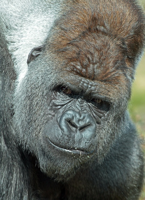 Bokito - a male Western Gorilla in Diergaarde Blijdorp zoo in Rotterdam, the Netherlands by J A Kok