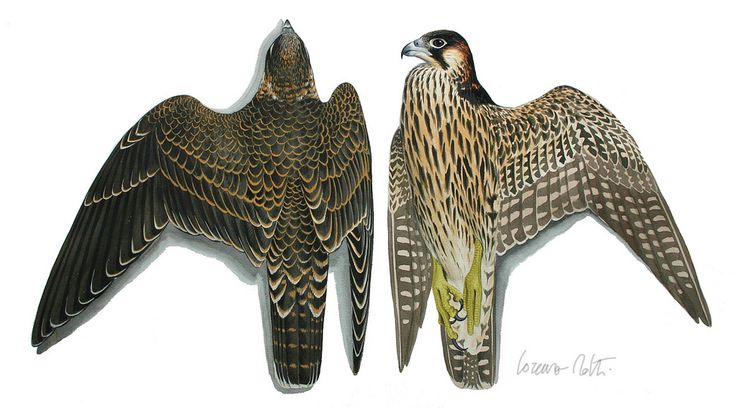 Falco pellegrino-Falco peregrinus   por lorenzo dotti