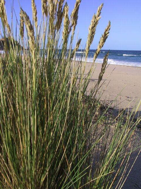 Poa poiformis - Coast Tussock Grass
