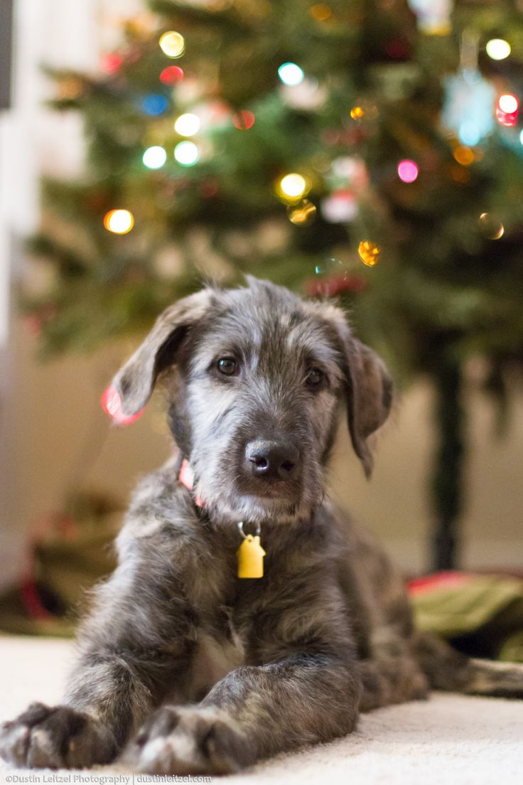 Dramatization! May not have happened!, This is our new Irish Wolfhound puppy, Freya!