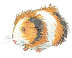Clip Art Guinea Pig Clip Art 1000 images about guinea pig art on pinterest pigs tips for kids how to draw a step by walter