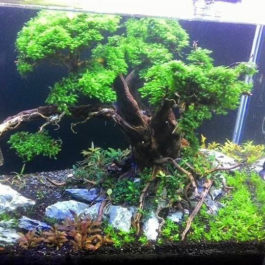 aquascape tree scape by didin uka uka pin by aqua poolkoh aquarium designreef aquariumaquarium ideasaquarium landscapephoto editor onlinefreshwater - Freshwater Aquarium Design Ideas