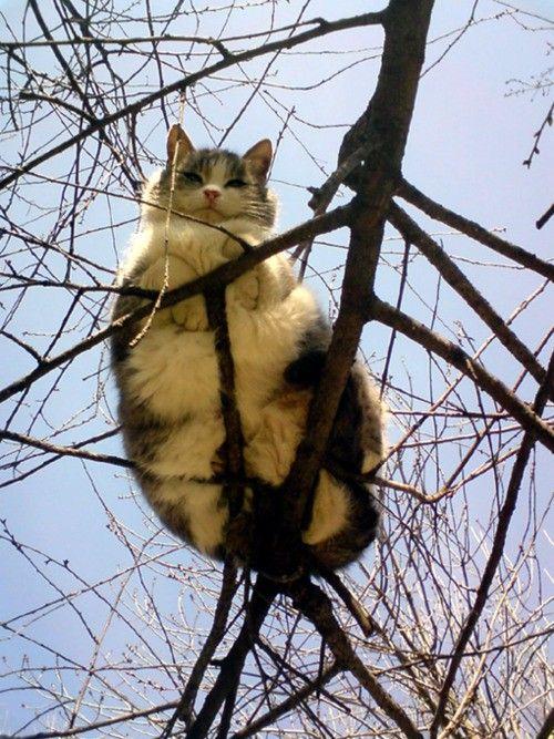 A big big cat on a teeny tiny branch!