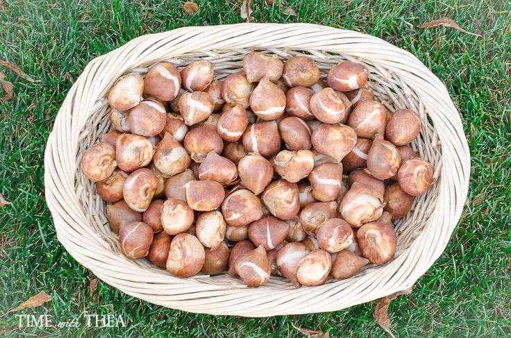 How I Use Ceramic Floor Tiles As A Timesaver When Planting Tulip Bulbs http://timewiththea.com