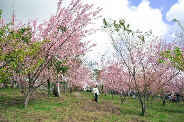 Campo de Flor de Cerejeira - Parque Estadual de Pedra Azul/ES.