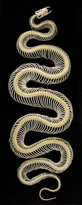 Snake Skeleton - please can I have one one day Father Christmas?