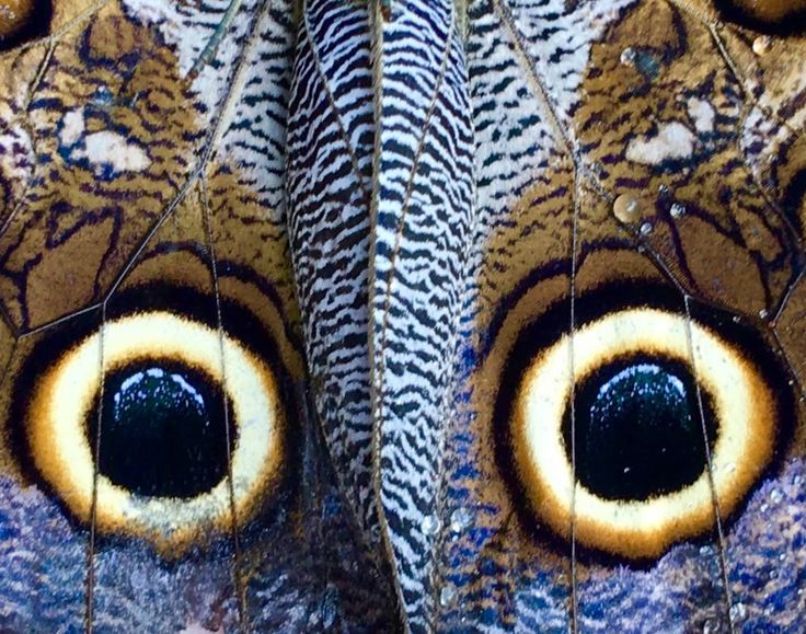 Are you looking at me? No, you are looking at a great owl butterfly mimicking the gaze of its predator's predator. Be part of the dream at Golfo Dulce Retreat www.gdretreat.com