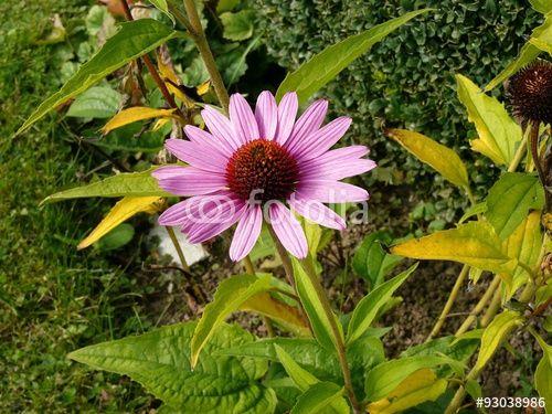 Rosa Blütenblätter einer Aster in einem Garten in Wettenberg Krofdorf-Gleiberg in Mittelhessen