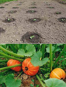 Выращивание тыквы рассадой и семенами в открытый грунт   Дача - впрок