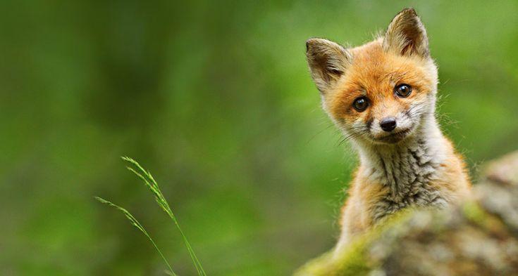 Baby red fox photographed near Trento, Italy by Nicola Angeli/Corbis ©