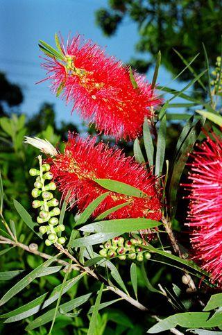 Australian Native Bottlebrush