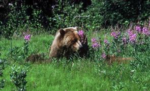 Grizzly bears relaxing in a Yukon meadow