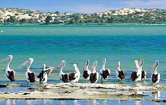 Pelicans (sacred birds) on the Coorong.