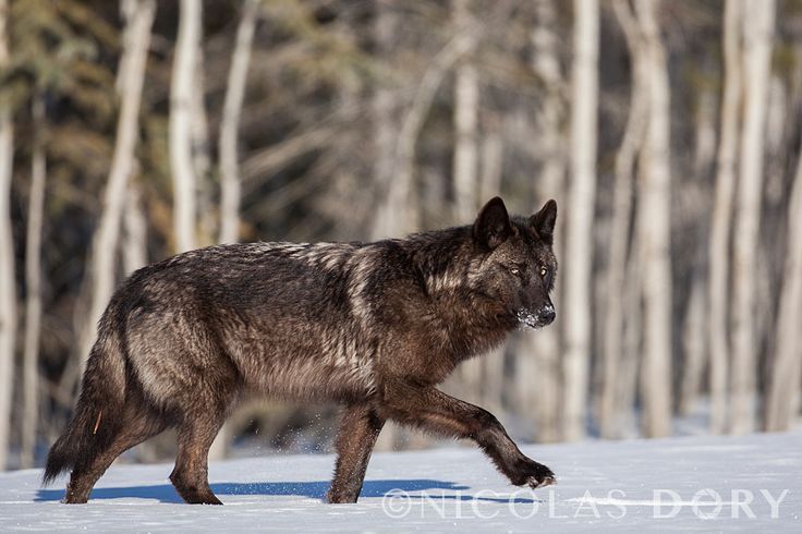 Yukon Wolf (Canis lupus pambasileus), also known as the Alaska Black Wolf.