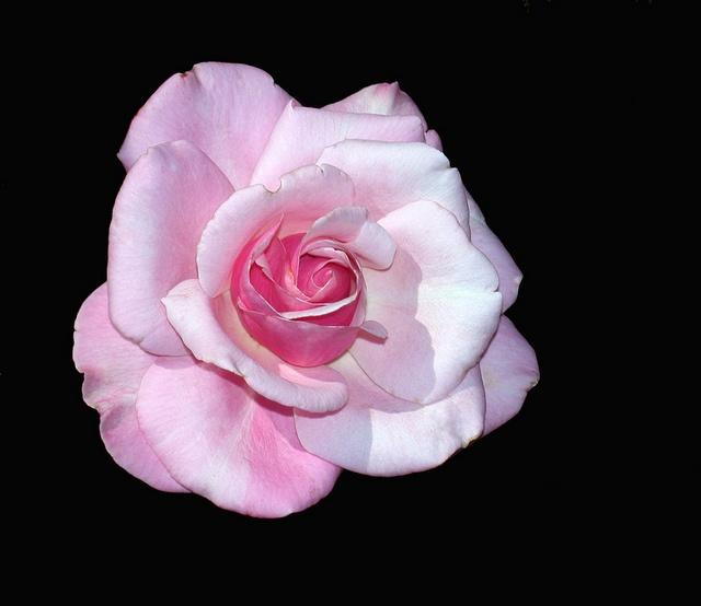 memorial day rose image