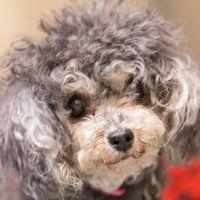 Cute Muttville mutt: Molly 2377 (Mini poodle | Female | Size: small (6-20 lbs))