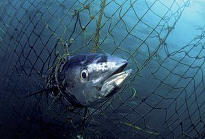 Report comparing past mass extinction events warns that hunting and killing of ocean's largest species will disrupt ecosystems for millions of years. Photo A dead Southern bluefin tuna caught in a tuna pen