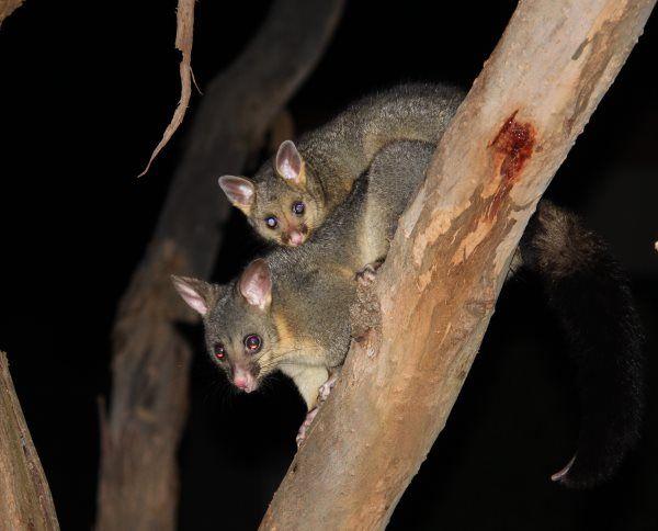 Brush tailed possum and baby visiting our gum tree at Phillip Island, Australia