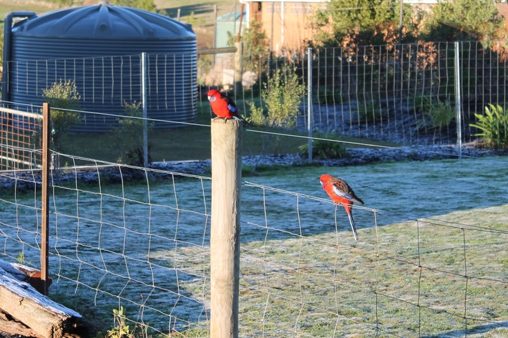 Frosty morning, -3.5deg, and my little friends still turn up for a free feed. :-)
