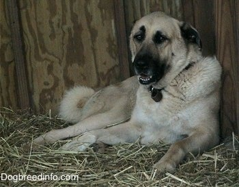 Anatolian Shepherd Dog. They are members of the working group. They are great guardians. They stand at 27-29 inches at the shoulder and weigh about 80-150 pounds.