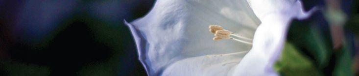 icelandic moonflower - scents