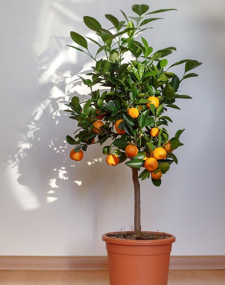 How To Grow An Indoor Citrus Tree Purewow Citrus Tree Indoor Citrus Trees Plants