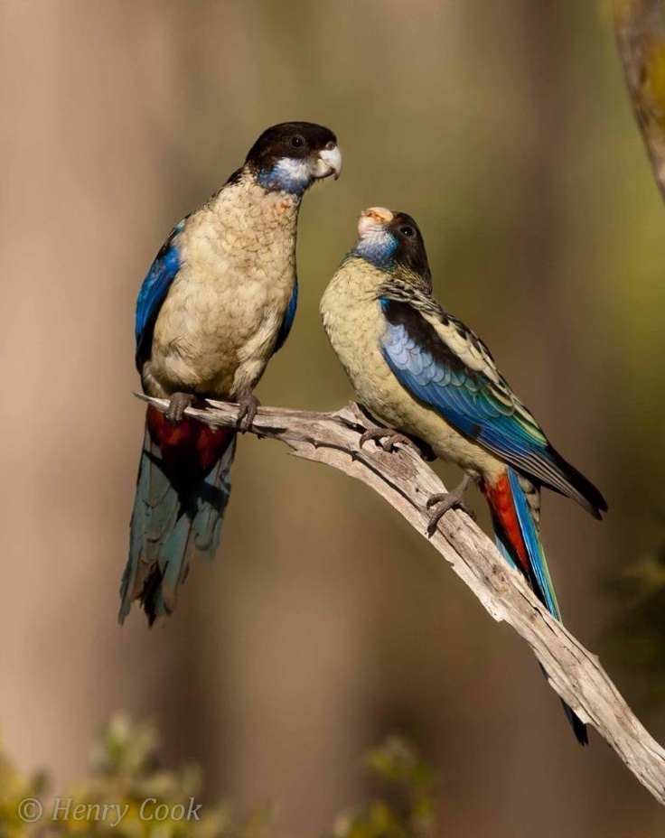 NORTHERN ROSELLAS  uncommon  Lives Northern Australia  By Henry Cook