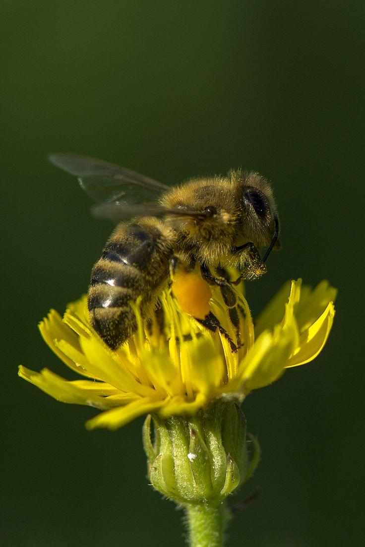 Včela medonosná Apis mellifera L,foto V.Hrozová