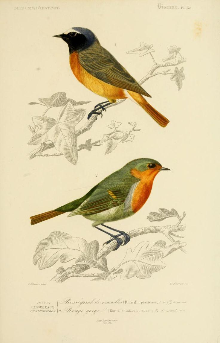 gravures couleur d'oiseaux - Gravure oiseau 0199 rouge-gorge - ruticilla rubecula - passereau - Gravures, illustrations, dessins, images
