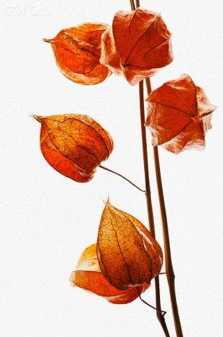 Chinese lantern, Physalis alkekengi - 42-45552785 - Rights Managed - Stock Photo - Corbis