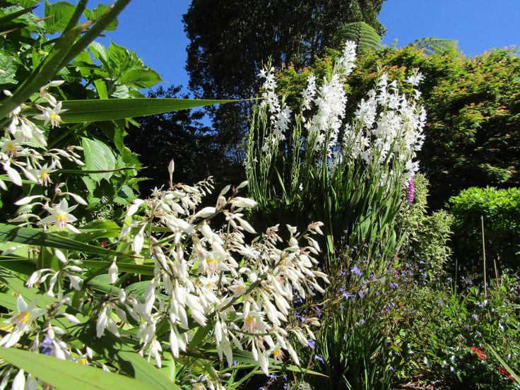 Watsonia & New Zealand Rock Lily