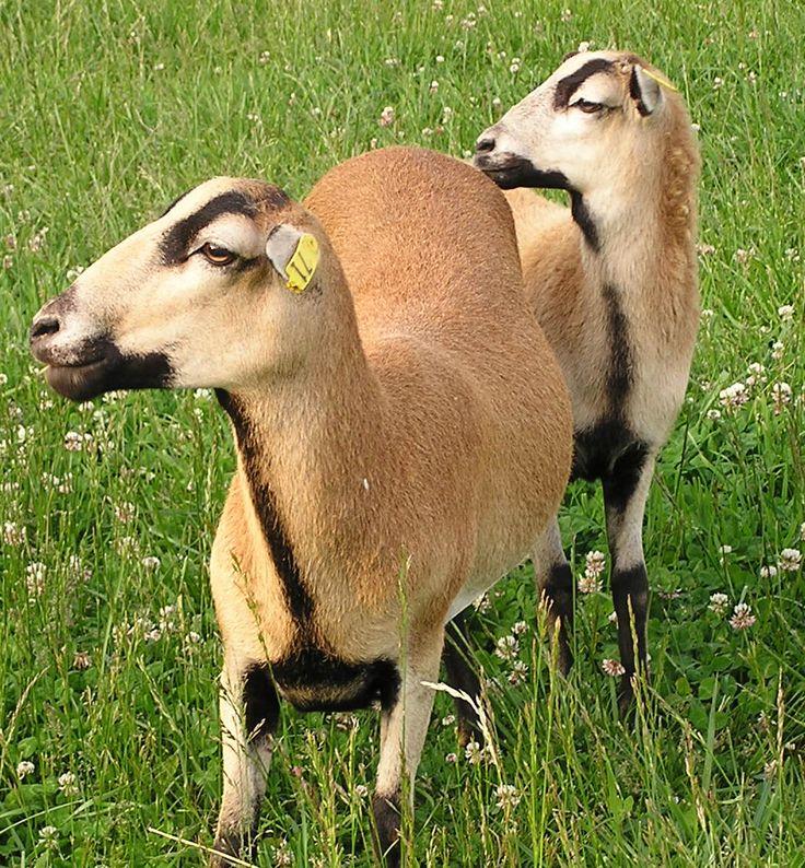 Valais Blacknose Wikipedia Valais blacknose sheep