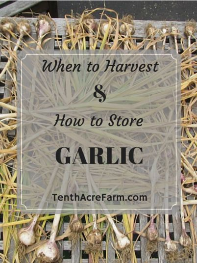 When to Harvest & How to Store Garlic