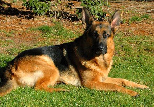 Julie Martinez Wonder Lake ILl : Julie Martinez Mittelwest World class German Shepherd Dog imports, breeder, puppies for sale, german shepherds for sale, stud services. | juliemartinez