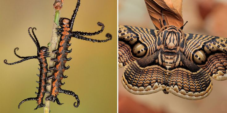 The animal kingdom is full of beautiful and mysterious processes, but there are few that are more captivating and wonderful than the metamorphoses that caterpillars undergo to become moths or butterflies.