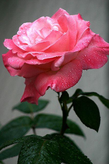 Barbara Bush Rose Flowers Beautiful Flowers Beautiful
