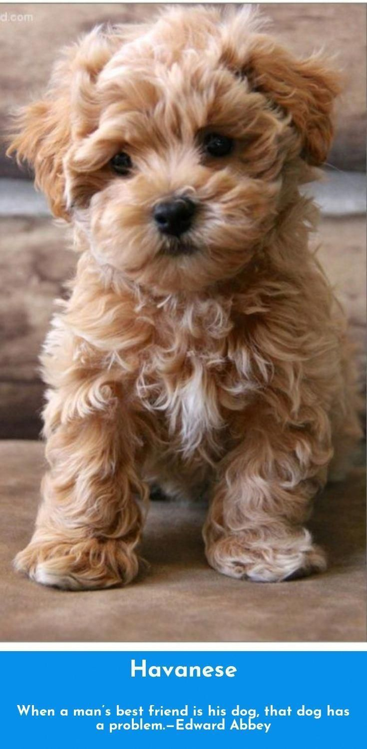 Things We All Adore About The Havanese Puppy Havanesepuppyfun