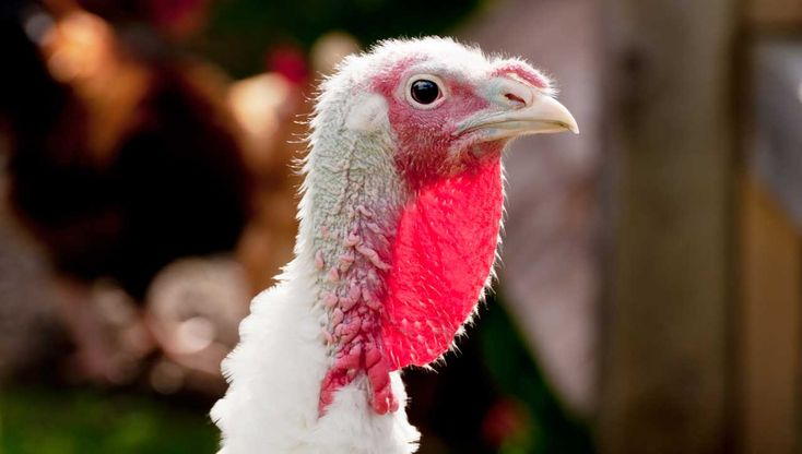 The Turkey population of Great Britain has voted in favour of Christmas in a referendum held yesterday.