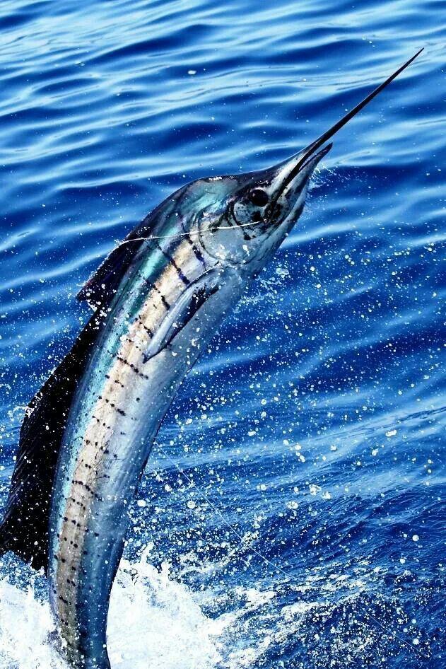Nice shot if a sailfish