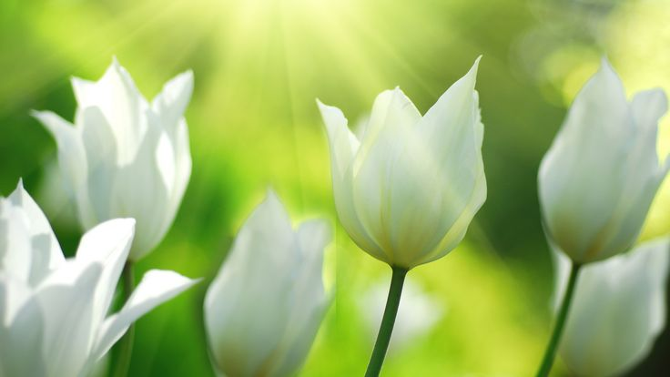 tulipas brancas flores na primavera Papéis de Parede - 3840x2160 UHD 4K