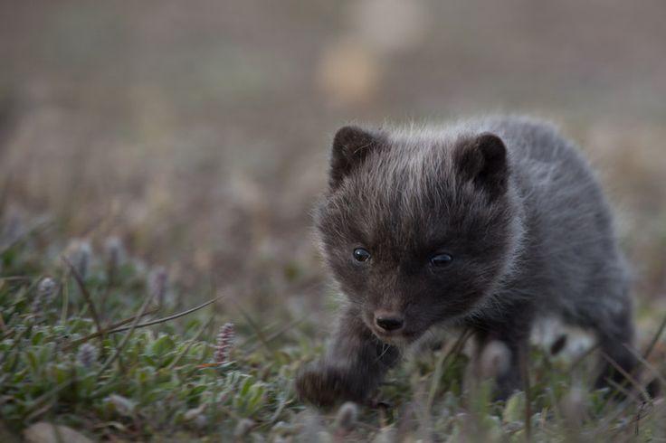 """Arctic pup"""" by Jonas Beyer Petersen"""