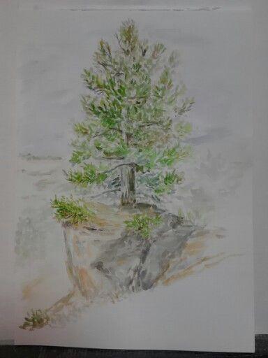 Watercolor, pine. Crimea