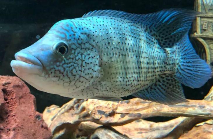 Wolf Cichlid For Sale Parachromis Dovii The Guapote Rainbow Bass Or Wolf Cichlid Is A Species Of Cichlid Nati Cichlids Tropical Fish Aquarium Cichlid Fish